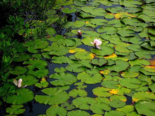 Lilies by Jen Consalvo