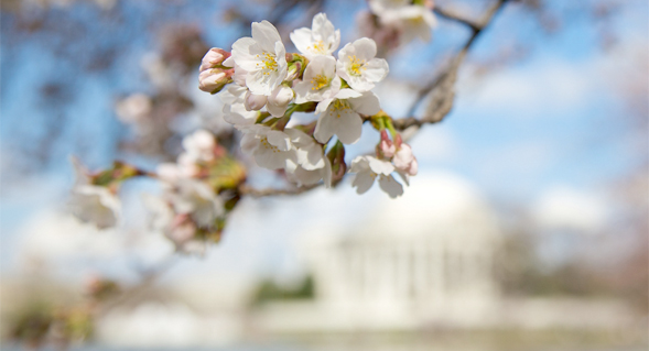 cherry blossoms in DC by Jen Consalvo