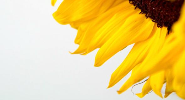 sunflower by Jen Consalvo