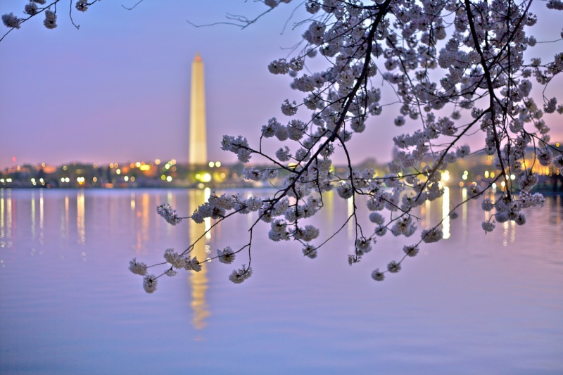 dc cherry blossoms by Jen Consalvo