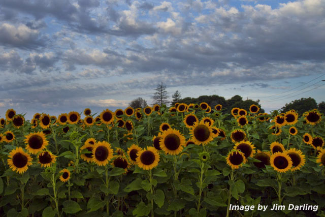 Sunflowers by Jim Darling